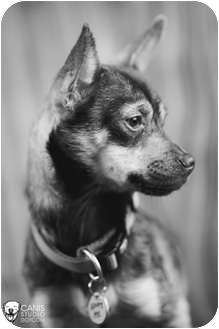 Chihuahua/Boston Terrier Mix Dog for adoption in Portland, Oregon - Alvin