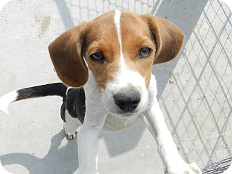 Beagle/Basset Hound Mix Puppy for adoption in Lawrenceburg, Tennessee - Shelby