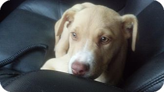 American Pit Bull Terrier Mix Puppy for adoption in Rome, Georgia - Jake