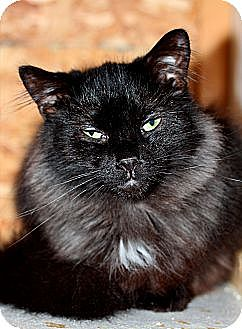 Domestic Mediumhair Cat for adoption in Halifax, Nova Scotia - Sponsor Adorable Wilbur