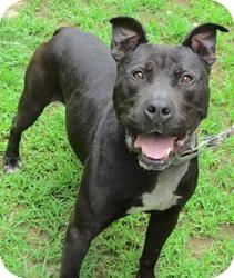American Bulldog/Labrador Retriever Mix Dog for adoption in Bloomfield, Connecticut - Contractor