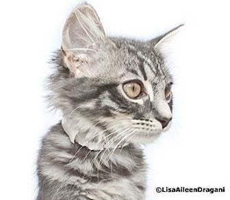 Domestic Longhair Kitten for adoption in Los Angeles, California - CHARLOTTE