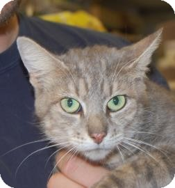 Domestic Shorthair Cat for adoption in Brooklyn, New York - Hope