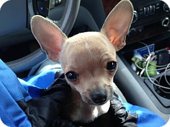 Chihuahua Puppy for adoption in Los Angeles, California - Ricky Ricardo