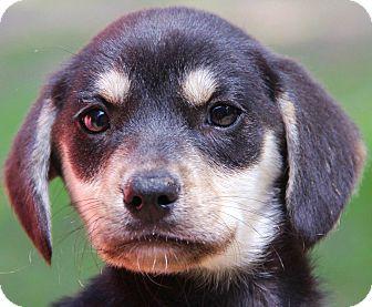German Shepherd Dog/Beagle Mix Puppy for adoption in Stamford, Connecticut - Katie