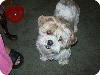 Lhasa Apso Dog for adoption in Thousand Oaks, California - Snookie