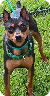 Miniature Pinscher Mix Dog for adoption in Fruit Heights, Utah - Speedy
