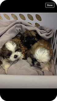 Shih Tzu Puppy for adoption in Alliance, Nebraska - puppies