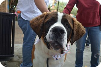 St. Bernard Puppy for adoption in Bellflower, California - Prince
