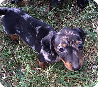 Dachshund Puppy for adoption in Wellington, Florida - OLAF