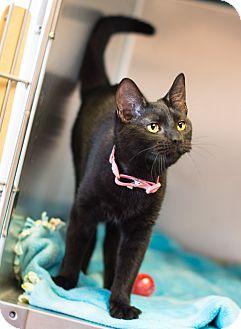 Domestic Shorthair Kitten for adoption in Carencro, Louisiana - Esme