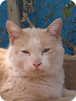 Domestic Mediumhair Cat for adoption in Las Cruces, New Mexico - Matt