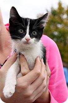 Domestic Shorthair Kitten for adoption in Cool Ridge, West Virginia - Oreo