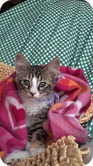 Domestic Mediumhair Kitten for adoption in Scottsdale, Arizona - CATARINA-PetsMart Kitty