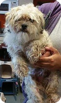 Lhasa Apso/Poodle (Miniature) Mix Dog for adoption in Westminster, California - Alan Jackson