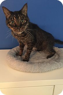 Domestic Shorthair Cat for adoption in Mount Pleasant, South Carolina - Sparks