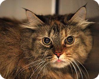 Domestic Longhair Cat for adoption in Parma, Ohio - Faith