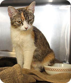 Calico Cat for adoption in Marietta, Ohio - Marietta (Combo Tested/Spayed)