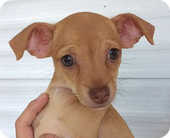Chihuahua Mix Puppy for adoption in Oakland, Florida - Butterscotch