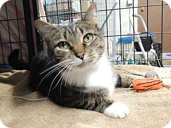 Domestic Shorthair Cat for adoption in Sullivan, Missouri - Summerlin