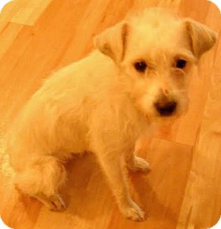 Schnauzer (Miniature)/Cairn Terrier Mix Dog for adoption in Boulder, Colorado - Kelsie-Adoption Pending