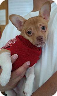 Chihuahua Mix Puppy for adoption in San Pablo, California - NAVIDAD