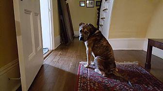 Hound (Unknown Type)/Boxer Mix Dog for adoption in Newport, Vermont - Gordon