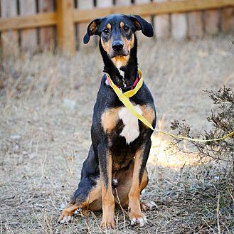 Doberman Pinscher/Greyhound Mix Dog for adoption in Palmyra, Nebraska - Ace