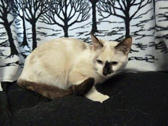 Siamese Cat for adoption in South Haven, Michigan - Tao