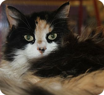 Calico Cat for adoption in Clayton, New Jersey - MIA