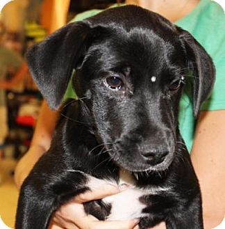 Labrador Retriever Mix Puppy for adoption in Boca Raton, Florida - Rita