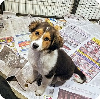 Beagle/Collie Mix Puppy for adoption in Chicago, Illinois - Sabrina**ADOPTED!**