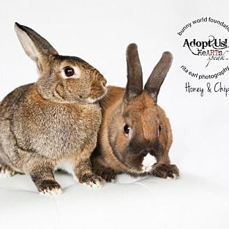 Dwarf Mix for adoption in Los Angeles, California - Honey & Chip