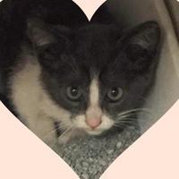 Adopt A Pet :: Nino - Waxahachie, TX