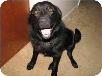 Shepherd (Unknown Type)/Labrador Retriever Mix Dog for adoption in Upper Marlboro, Maryland - Murry