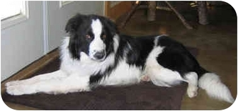 Border Collie Puppy for adoption in Denver, Colorado - Zeke
