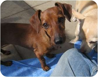 Dachshund Dog for adoption in Tracy, California - Sonya