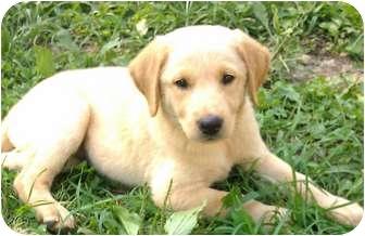 Labrador Retriever Mix Puppy for adoption in Harrisonburg, Virginia - Pollyanna
