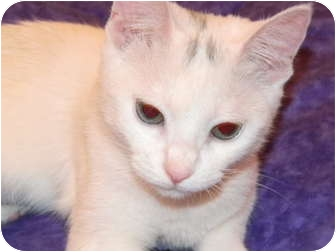Domestic Mediumhair Cat for adoption in Houston, Texas - Snow White (aka Smudge)