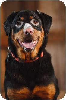 Rottweiler Mix Dog for adoption in Portland, Oregon - Josie
