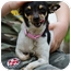Photo 4 - Chihuahua Dog for adoption in Bulverde, Texas - Itsy