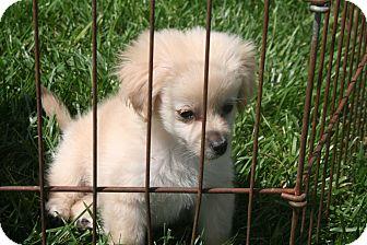Maltese/Poodle (Miniature) Mix Puppy for adoption in Garden Grove, California - Tessa