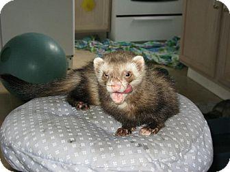 Ferret for adoption in South Hadley, Massachusetts - Davy