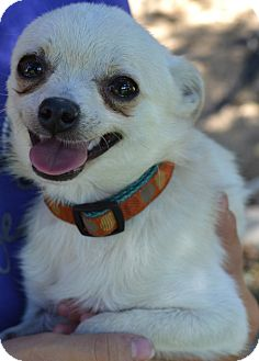 Pomeranian/Chihuahua Mix Dog for adoption in Simi Valley, California - Flash