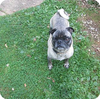 Pug Dog for adoption in Greensboro, Maryland - Smitty