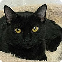 Domestic Shorthair Cat for adoption in Huntington, New York - Tornado