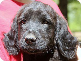 Labrador Retriever/Golden Retriever Mix Puppy for adoption in Pewaukee, Wisconsin - Teddy