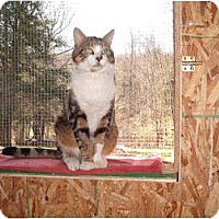 Adopt A Pet :: Louie the lap cat - Morris, PA