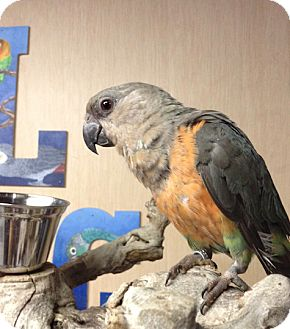 Poicephalus (including Senegal and Meyer's) for adoption in Woodbridge, New Jersey - Danny Boy