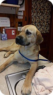 Labrador Retriever Mix Dog for adoption in Williston, Vermont - Annie